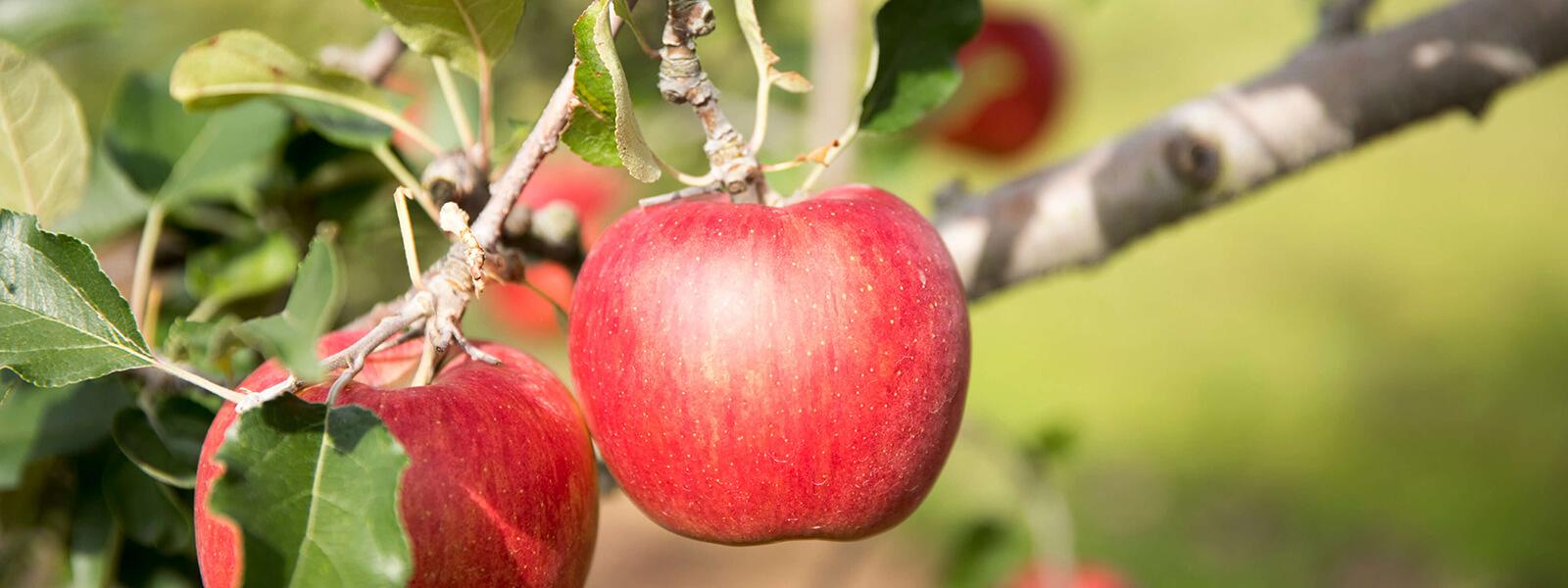 安曇野のりんごやさん 東印平林農園